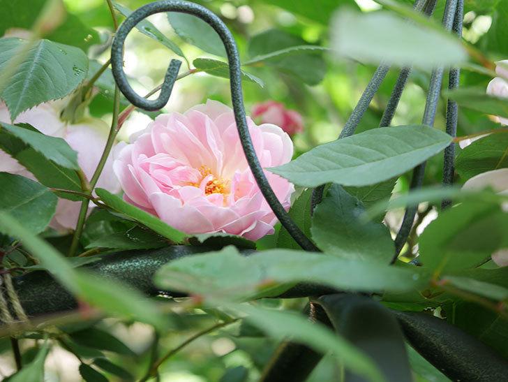 モーティマー・サックラー(Mortimer Sackler)の花が咲いた。ツルバラ。2021年-032.jpg