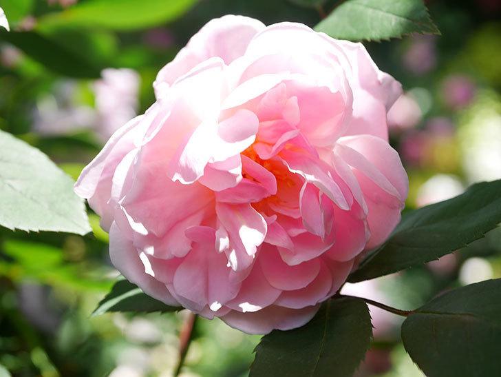 モーティマー・サックラー(Mortimer Sackler)の花が咲いた。ツルバラ。2021年-033.jpg