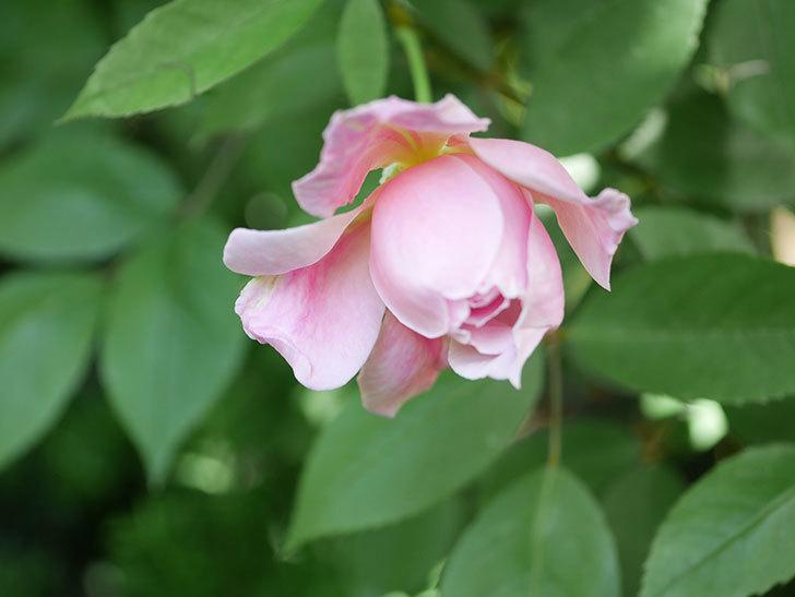 モーティマー・サックラー(Mortimer Sackler)の花が咲いた。ツルバラ。2021年-034.jpg