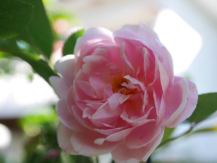 モーティマー・サックラー(Mortimer Sackler)の花が咲きだした。ツルバラ。2021年-010.jpg