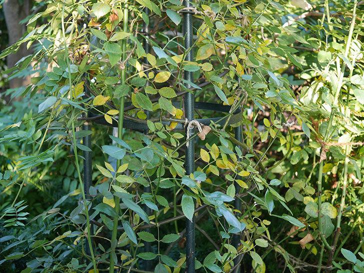 モーティマー・サックラー(Mortimer Sackler)の葉が大量に黄色くなってきた。ツルバラ。2020年-001.jpg
