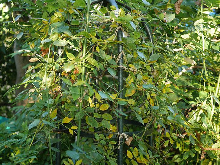 モーティマー・サックラー(Mortimer Sackler)の葉が大量に黄色くなってきた。ツルバラ。2020年-002.jpg