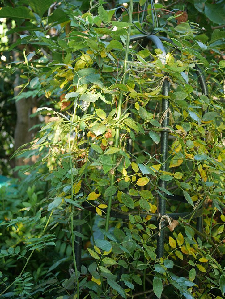 モーティマー・サックラー(Mortimer Sackler)の葉が大量に黄色くなってきた。ツルバラ。2020年-003.jpg