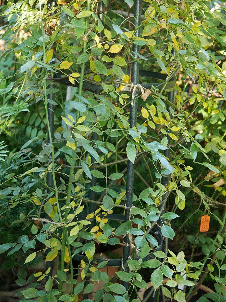 モーティマー・サックラー(Mortimer Sackler)の葉が大量に黄色くなってきた。ツルバラ。2020年-004.jpg