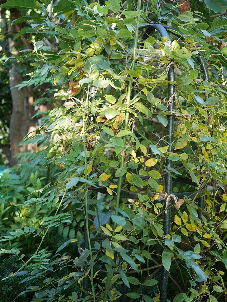 モーティマー・サックラー(Mortimer Sackler)の葉が大量に黄色くなってきた。ツルバラ。2020年-005.jpg