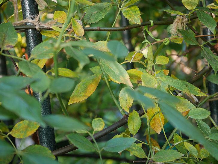 モーティマー・サックラー(Mortimer Sackler)の葉が大量に黄色くなってきた。ツルバラ。2020年-006.jpg