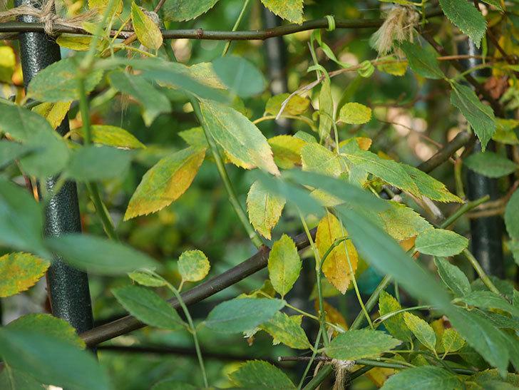 モーティマー・サックラー(Mortimer Sackler)の葉が大量に黄色くなってきた。ツルバラ。2020年-007.jpg