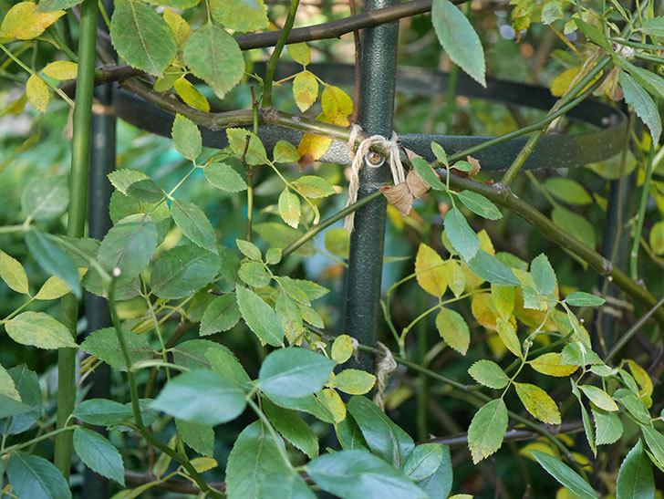 モーティマー・サックラー(Mortimer Sackler)の葉が大量に黄色くなってきた。ツルバラ。2020年-008.jpg
