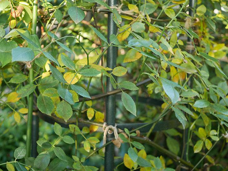 モーティマー・サックラー(Mortimer Sackler)の葉が大量に黄色くなってきた。ツルバラ。2020年-009.jpg