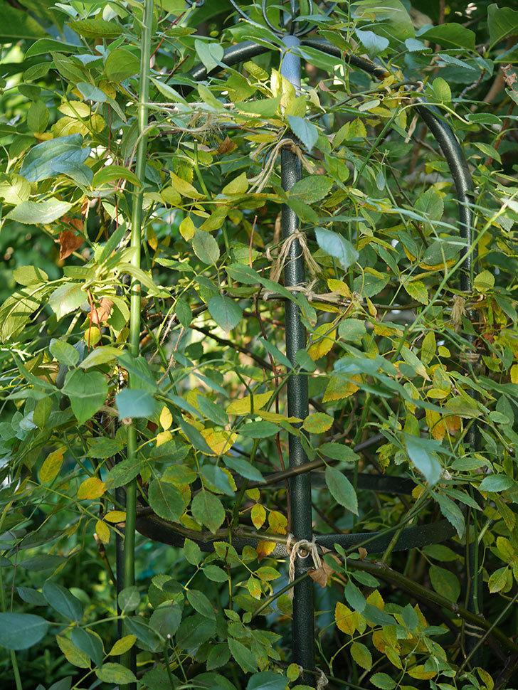 モーティマー・サックラー(Mortimer Sackler)の葉が大量に黄色くなってきた。ツルバラ。2020年-010.jpg