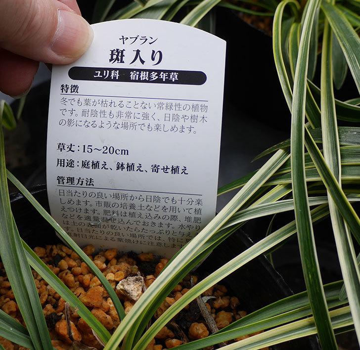 ヤブラン-斑入りがケイヨーデーツーで198円だったので5個買って来た。2018年-3.jpg