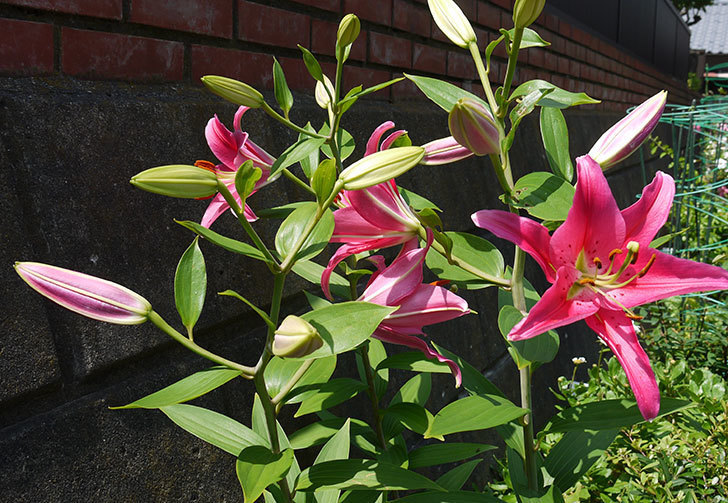 ユリ-ビビアナの花が増えてきた。2016年-1.jpg