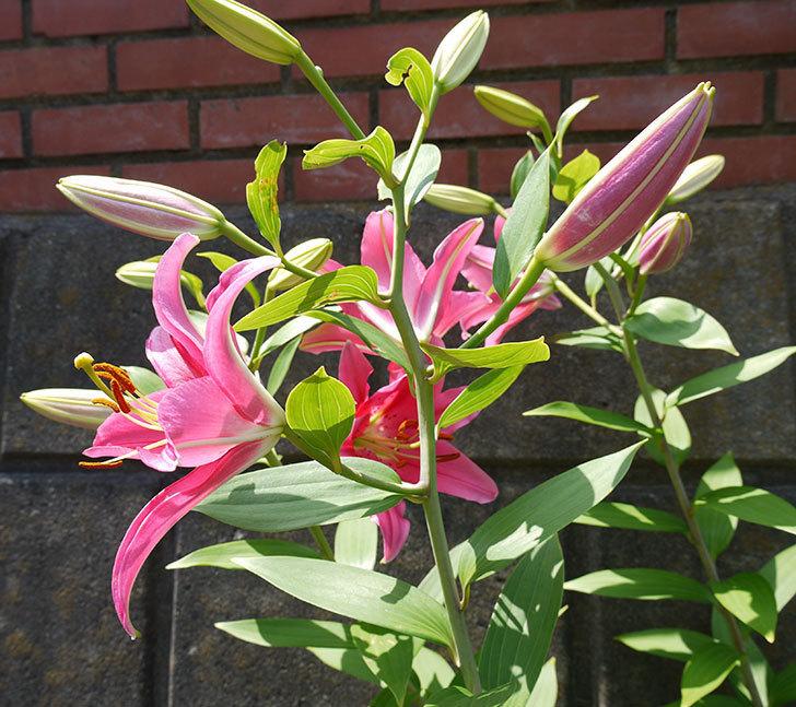 ユリ-ビビアナの花が増えてきた。2016年-2.jpg