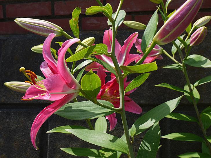 ユリ-ビビアナの花が増えてきた。2016年-3.jpg