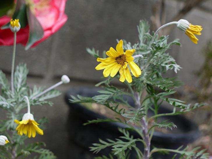 ユリオプスデージーが少し咲いた。2017年-4.jpg