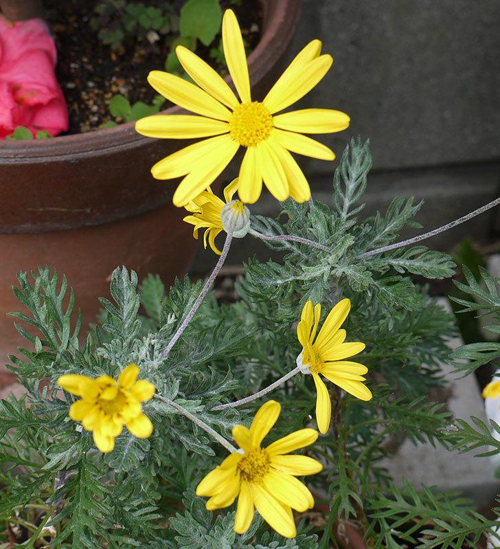 ユリオプスデージーの花が増えてきた。2017年-1.jpg