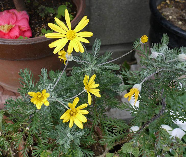 ユリオプスデージーの花が増えてきた。2017年-2.jpg