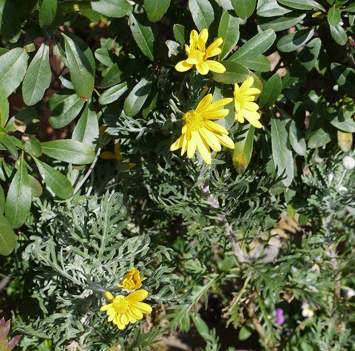ユリオプスデージーの花が増えてきた。2017年-3.jpg
