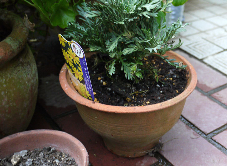 ユリオプスデージーを鉢の植えた3.jpg