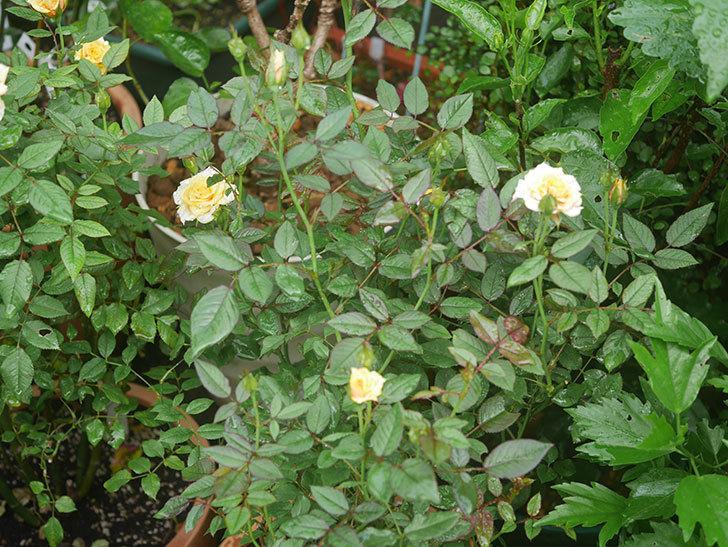 ライズンシャイン(Rise'n Shine)の2番花が咲いた。ミニバラ。2020年-001.jpg