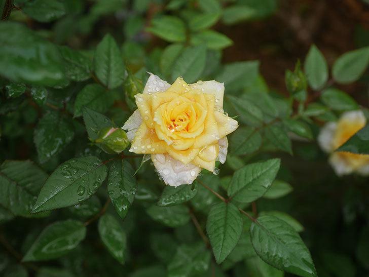 ライズンシャイン(Rise'n Shine)の2番花が咲いた。ミニバラ。2020年-002.jpg