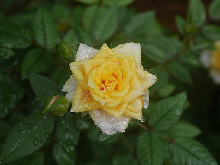 ライズンシャイン(Rise'n Shine)の2番花が咲いた。ミニバラ。2020年-003.jpg