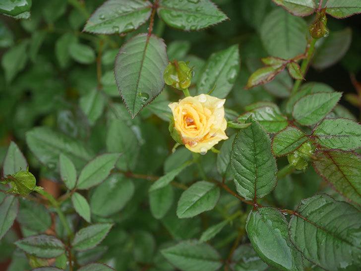 ライズンシャイン(Rise'n Shine)の2番花が咲いた。ミニバラ。2020年-004.jpg