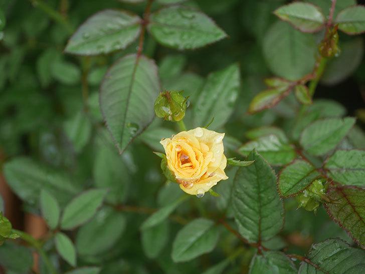 ライズンシャイン(Rise'n Shine)の2番花が咲いた。ミニバラ。2020年-005.jpg