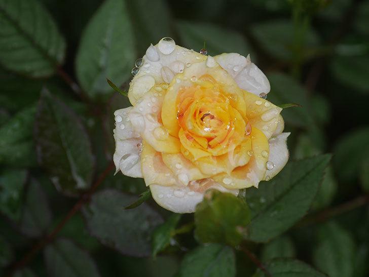ライズンシャイン(Rise'n Shine)の2番花が咲いた。ミニバラ。2020年-006.jpg