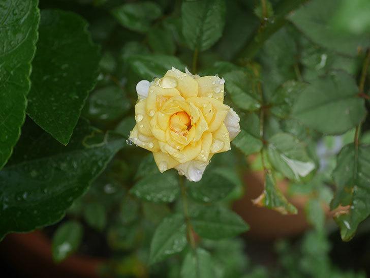 ライズンシャイン(Rise'n Shine)の2番花が咲いた。ミニバラ。2020年-007.jpg