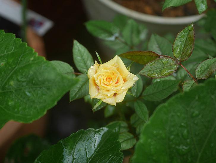ライズンシャイン(Rise'n Shine)の2番花が咲いた。ミニバラ。2020年-008.jpg