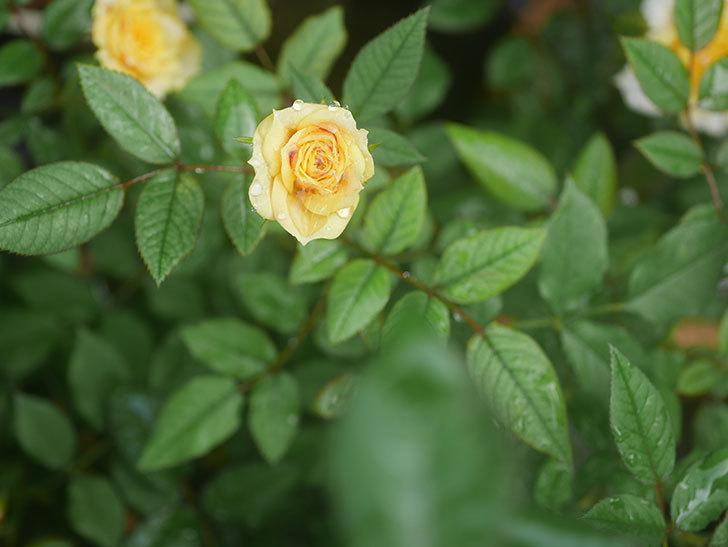 ライズンシャイン(Rise'n Shine)の2番花が咲いた。ミニバラ。2020年-009.jpg