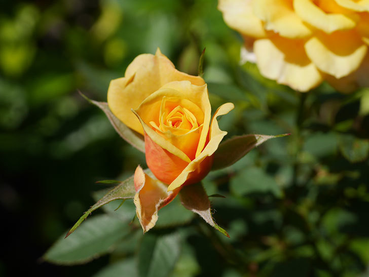 ライズンシャイン(Rise'n Shine)の秋花がまた咲いた。ミニバラ。2020年-009.jpg