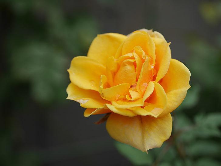 ライズンシャイン(Rise'n Shine)の秋花がまだ咲いている。ミニバラ。2020年-007.jpg