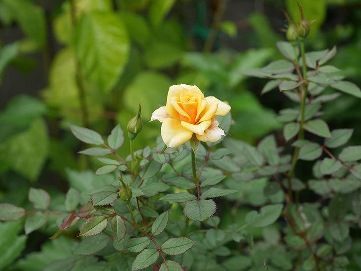 ライズンシャイン(Rise'n Shine)の秋花が咲いた。ミニバラ。2020年-001.jpg