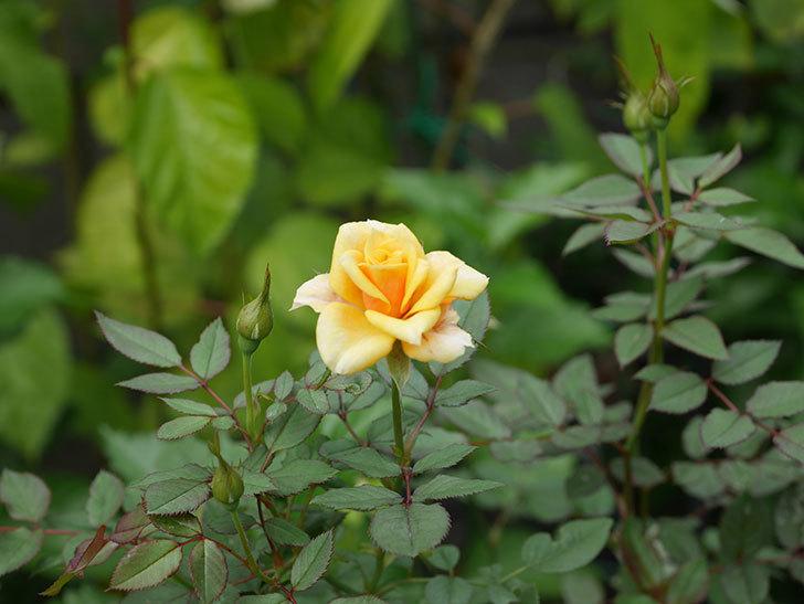 ライズンシャイン(Rise'n Shine)の秋花が咲いた。ミニバラ。2020年-002.jpg