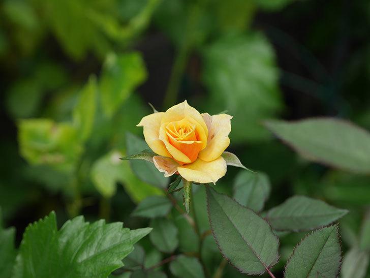 ライズンシャイン(Rise'n Shine)の秋花が咲いた。ミニバラ。2020年-004.jpg