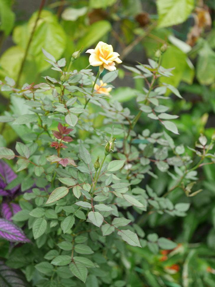 ライズンシャイン(Rise'n Shine)の秋花が咲いた。ミニバラ。2020年-007.jpg