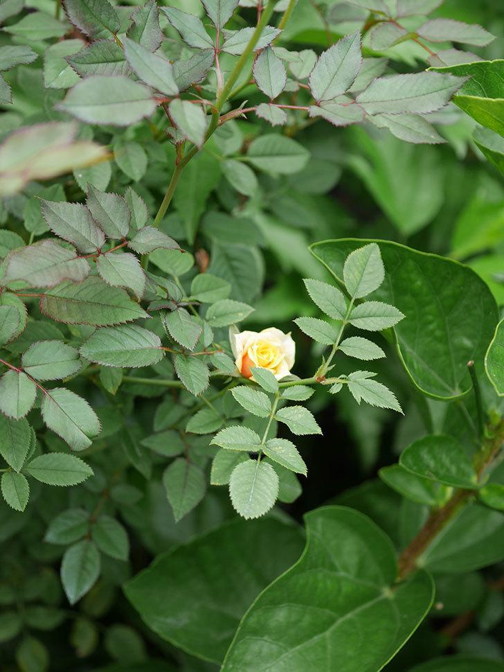 ライズンシャイン(Rise'n Shine)の秋花が咲いた。ミニバラ。2020年-008.jpg