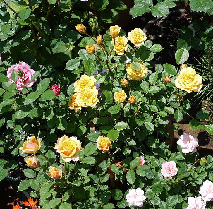 ライズンシャイン(ミニバラ)がたくさん咲いた。2017年-1.jpg