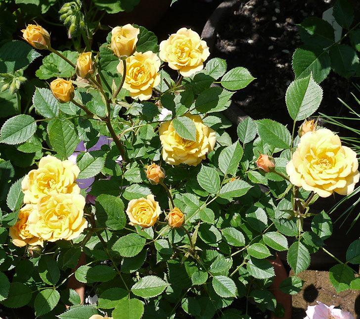 ライズンシャイン(ミニバラ)がたくさん咲いた。2017年-2.jpg