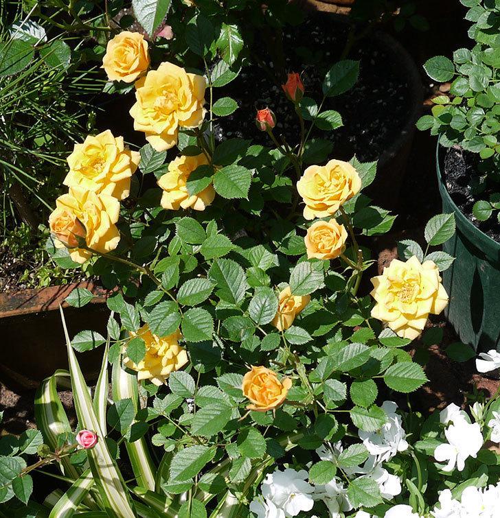 ライズンシャイン(ミニバラ)がたくさん咲いた。2017年-3.jpg