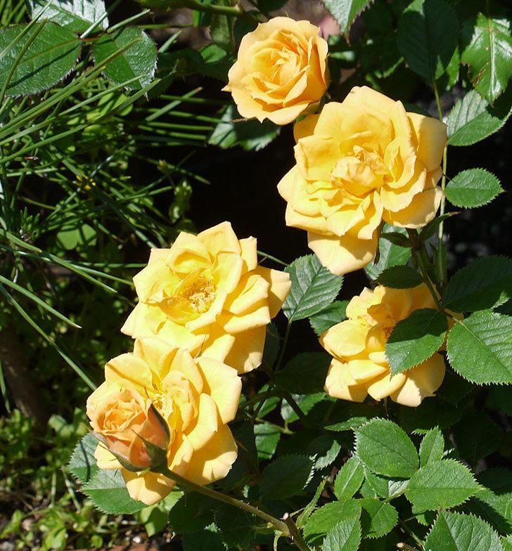 ライズンシャイン(ミニバラ)がたくさん咲いた。2017年-4.jpg