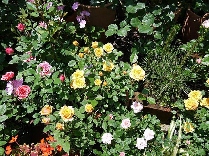 ライズンシャイン(ミニバラ)がたくさん咲いた。2017年-6.jpg