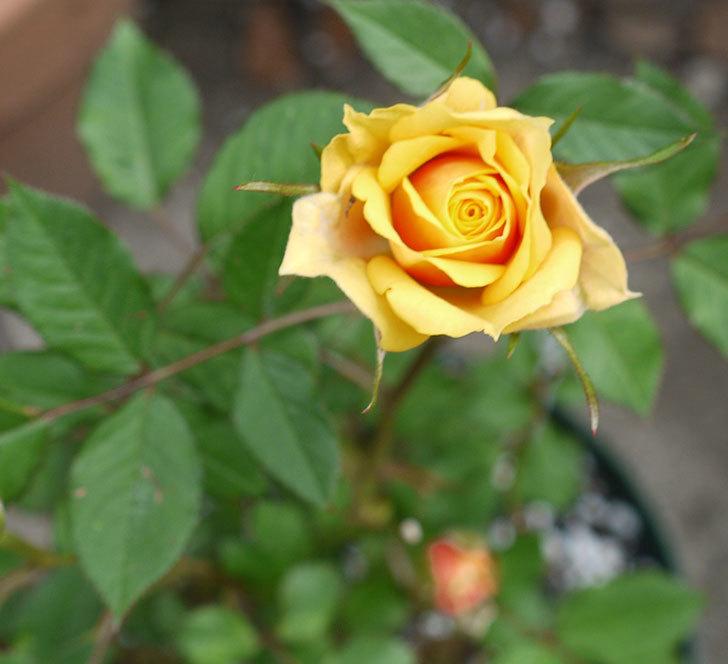 ライズンシャイン(ミニバラ)が咲きだした。2017年-1.jpg
