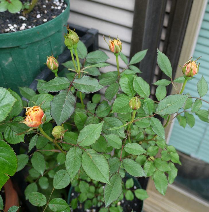 ライズンシャイン(ミニバラ)が咲きだした。2017年-10.jpg