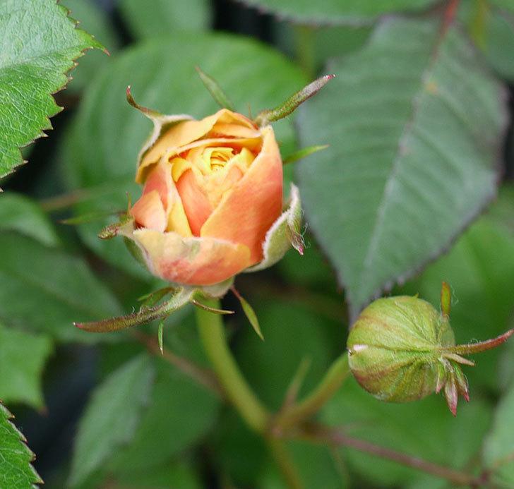 ライズンシャイン(ミニバラ)が咲きだした。2017年-11.jpg