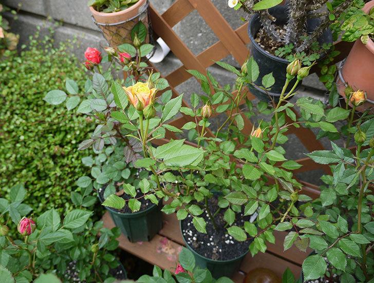 ライズンシャイン(ミニバラ)が咲きだした。2017年-12.jpg