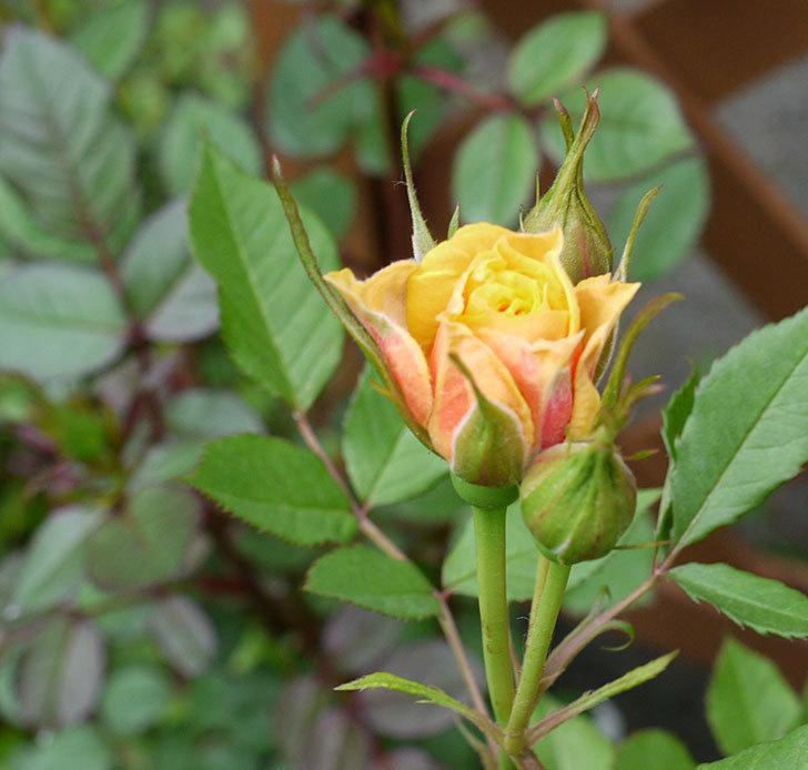 ライズンシャイン(ミニバラ)が咲きだした。2017年-13.jpg