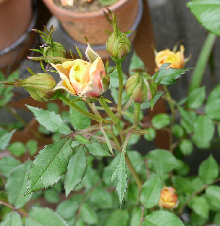 ライズンシャイン(ミニバラ)が咲きだした。2017年-14.jpg